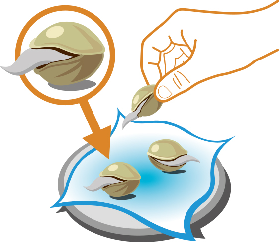 Wanneer de eerste millimeters wortel zichtbaar worden moet je het zaadje verplaatsen naar een kleine pot met groeimedium