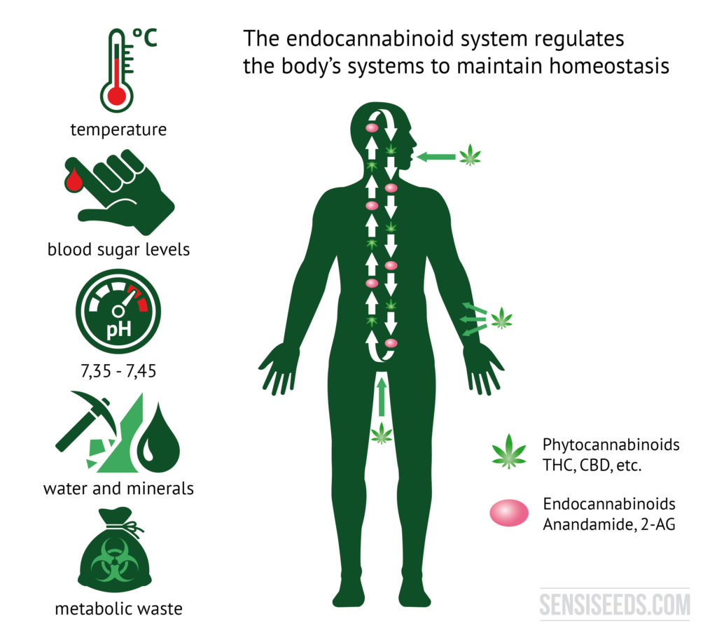 Explanatory diagram of the endocannabinoid system. On the left side of the diagram are illustrations that represent the body temperature, the blood glucose level, the pH value, the water and mineral management and the metabolic end products. To the right is the outline of a human being. Phytocannabinoids enter the body through the mouth and skin, as can be seen in the diagram.