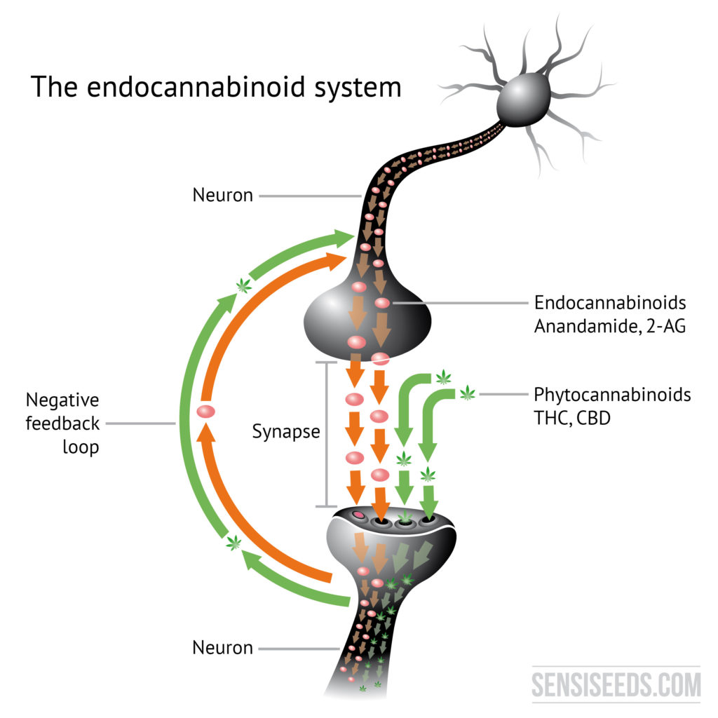 Diagram showing two neurons that are connected to each other by means of a synapse. This results in a negative feedback mechanism, which is significant in connection with the endocannabinoid system.