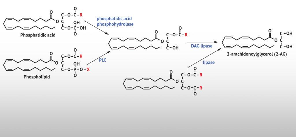 La synthèse du 2-AG par les phospholipides précurseurs, provoquée par les actions du diacyglycérol lipase (DAGL).