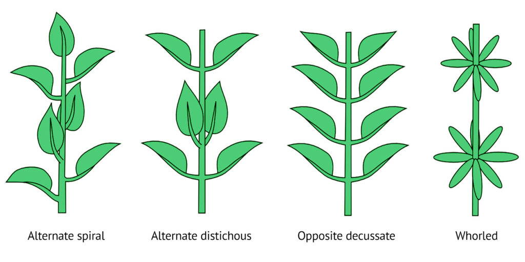 Diagramme montrant des feuilles disposées par paires le long de tiges. Sous chaque tige est écrit de gauche à droite : alternes hélicoïdales, alternes distiques, opposées décussées et verticillées. Il s'agit de la disposition des feuilles.