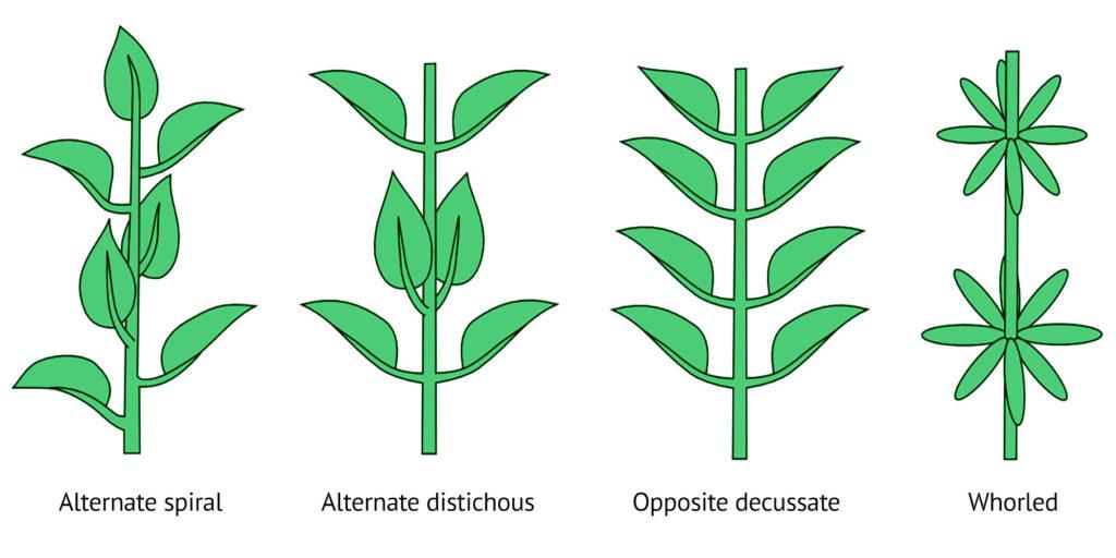 Ein Diagramm, dass Blätter zeigt, die entlang ihres Stiels paarweise sortiert sind. Beschriftung unter den Stielen (von links nach rechts): wechselständige Blattstellung, zweizeilige Blattstellung, kreuzgegenständige Blattstellung und quirlige Blattstellung. Damit werden die verschiedenen Arten der Blatt-Arrangements beschrieben.
