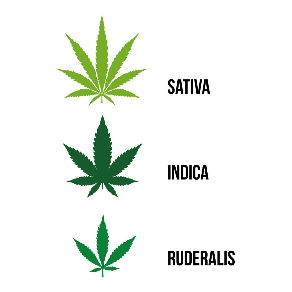 Diagramme montrant les types de plantes de cannabis disposées à l'horizontale. Sativa est dessinée en vert pâle et porte des feuilles longues et effilées. Indica est dessinée en vert foncé et ses feuilles sont plus larges. Ruderalis est dessinée en vert et ses feuilles sont plus petites.