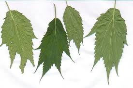 Example of webbed cannabis leaves