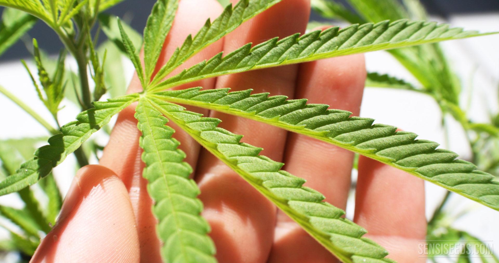 Was Sie über Cannabisblätter wissen müssen
