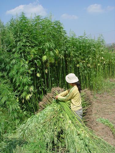 In industriële hennep wordt overwegend de cannabinoïde CBD aangetroffen