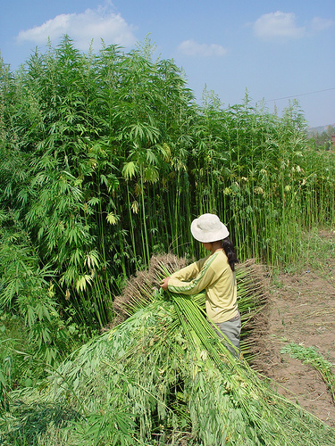 The dominant cannabinoid found in industrial hemp is CBD