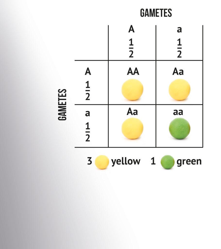 L'hérédité mendélienne sous sa forme la plus simple : 25 % des descendants ont le type AA, 25 % le type aa et 50 % le type Aa