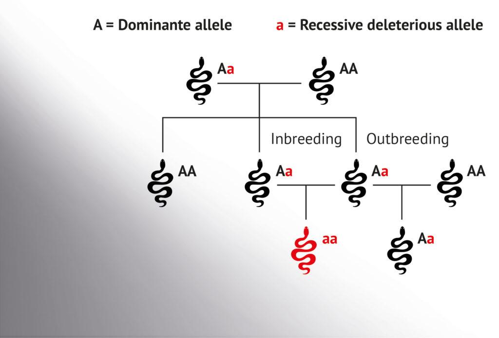 Diagrama sencillo que muestra el potencial de la endogamia para conseguir que los rasgos no deseados y recesivos se vuelvan dominantes