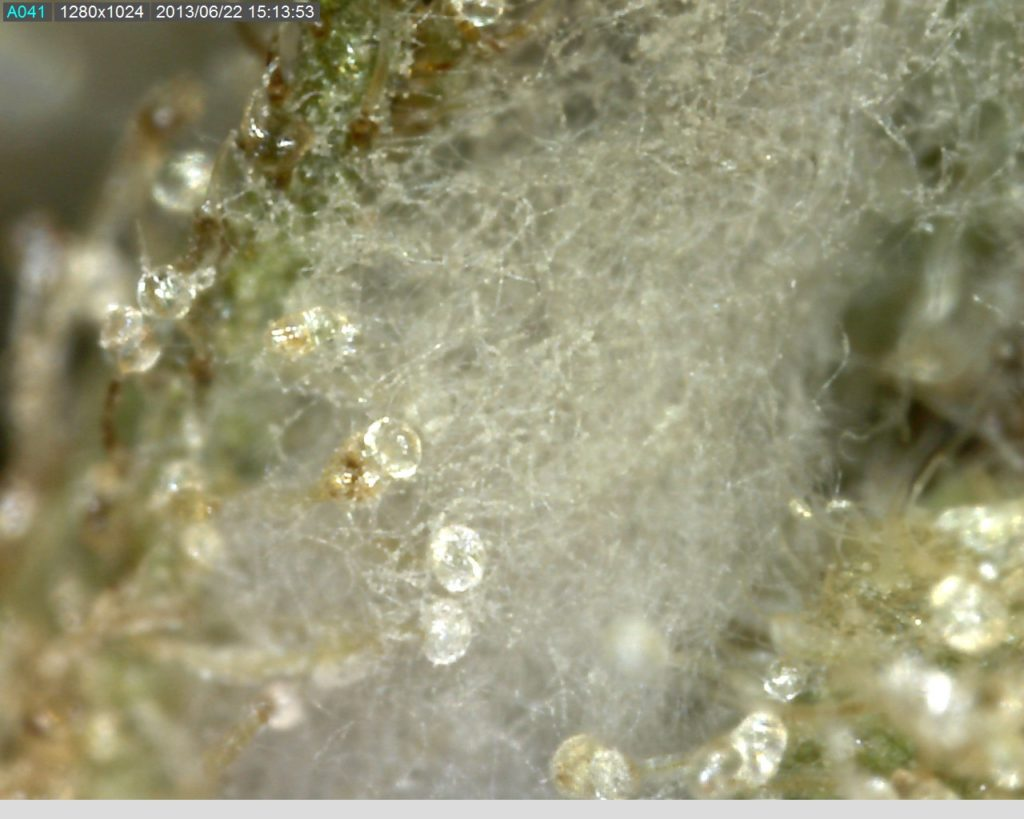 Mould contaminated cannabis - courtesy of Cannabis College Amsterdam
