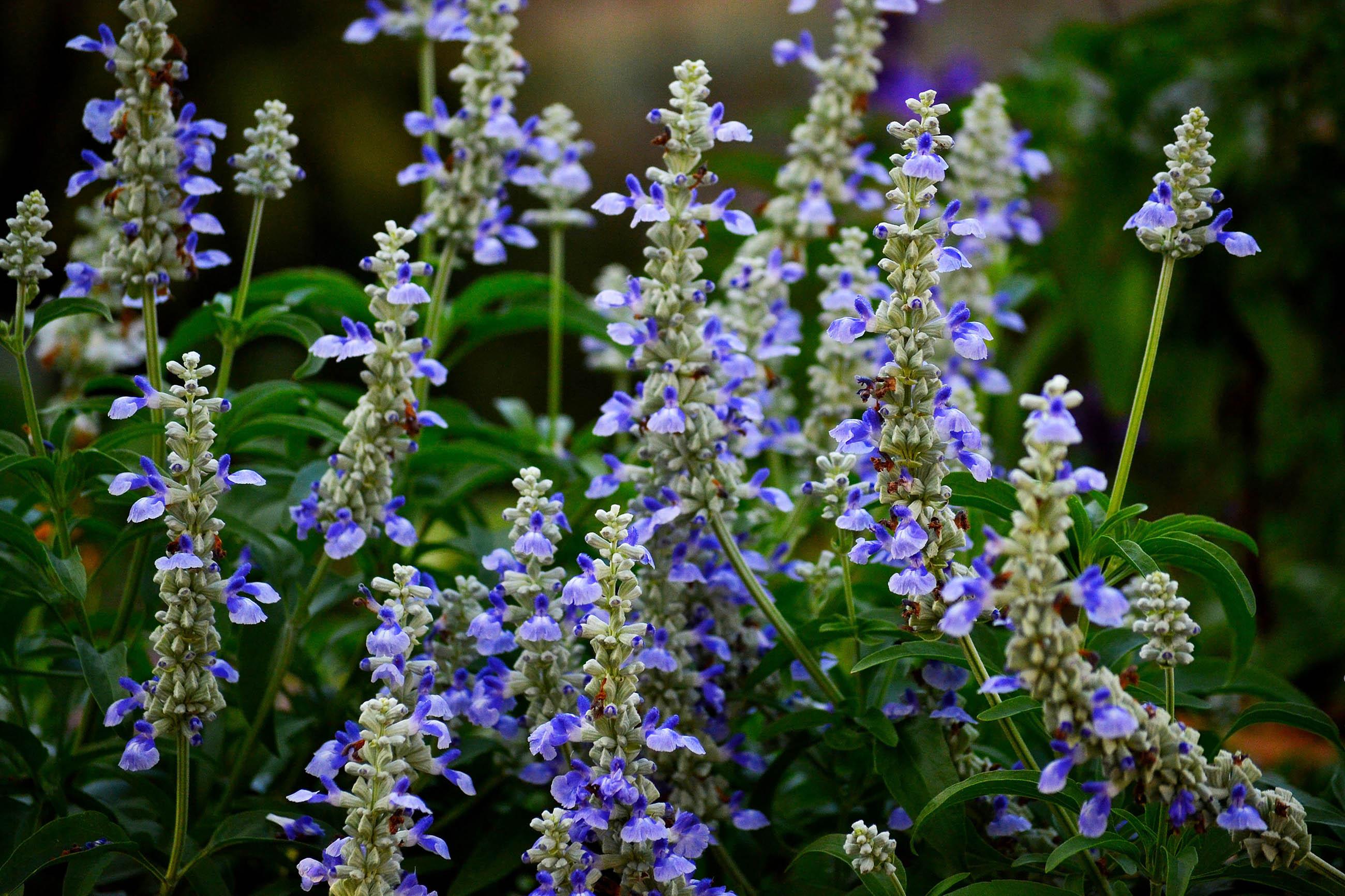 Salvia Divinorum —The Diviner's Sage |Salvia Plants