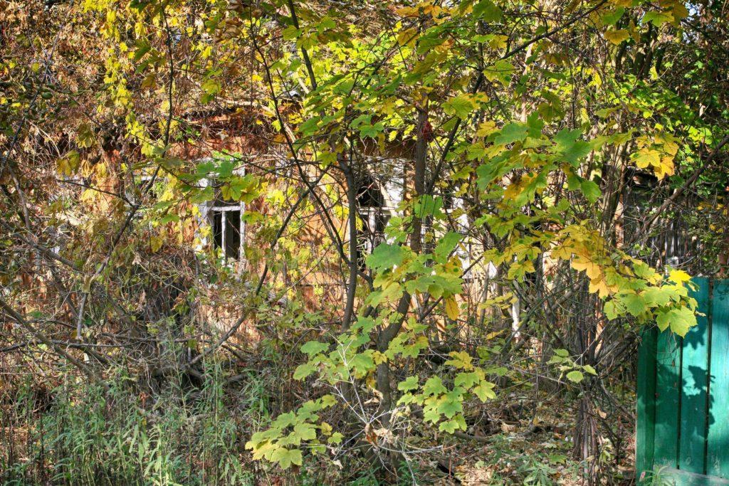 Hemp and the Decontamination of Radioactive Soil - Sensi Seeds Blog