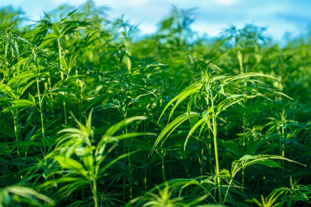 Industrial Hemp_HempFlax small