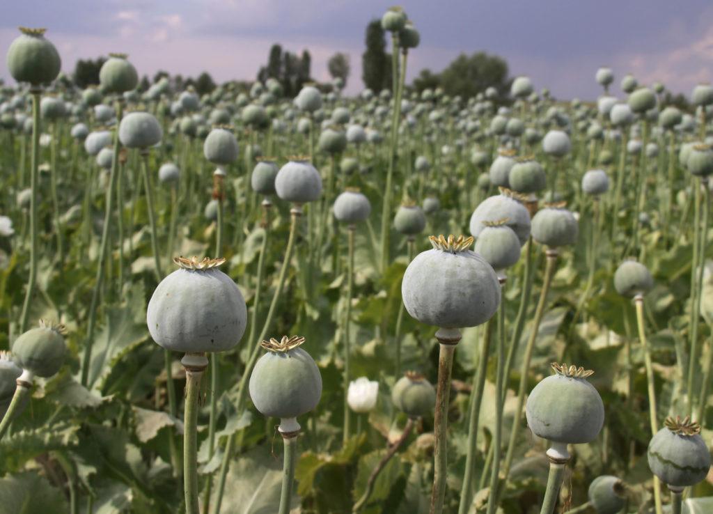 An opium field