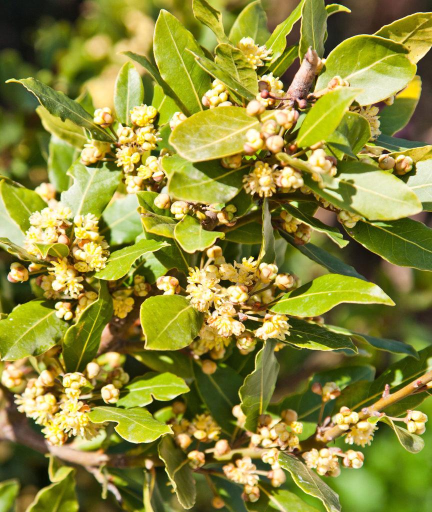 El laurel y muchas hierbas relacionadas contienen linalol, un conocido sedante, relajante muscular y ansiolítico