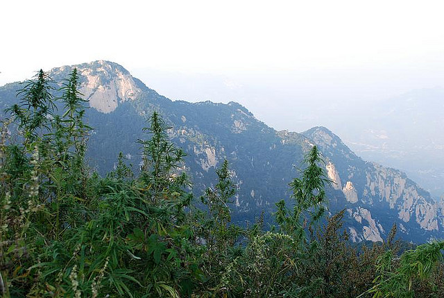 hemp cultivation in china The cultivation of industrial hemp is legal in many parts of the world but is still banned  the countries that dominate the hemp market currently are china .