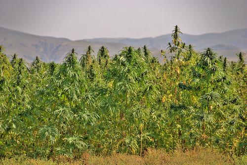 Cannabis in China - Sensi Seeds Blog