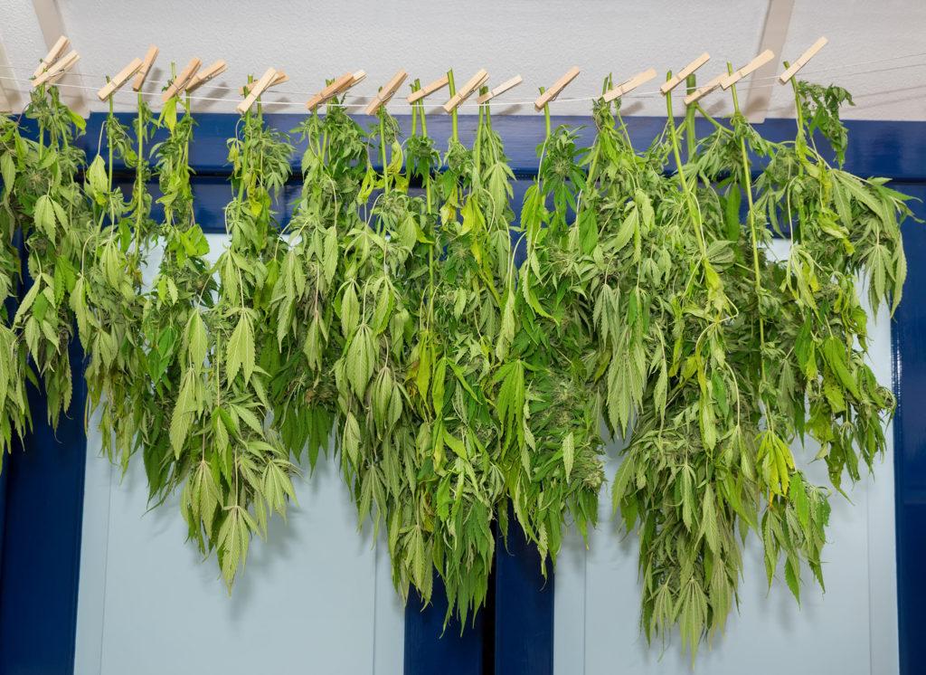 Hoe werkt cannabissap precies?