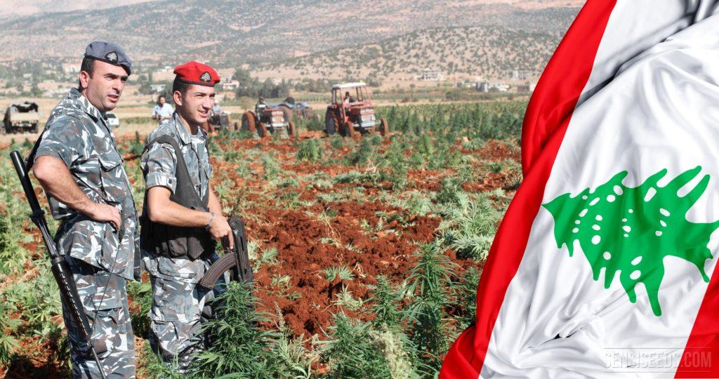 19-cannabis-in-Lebanon_4K