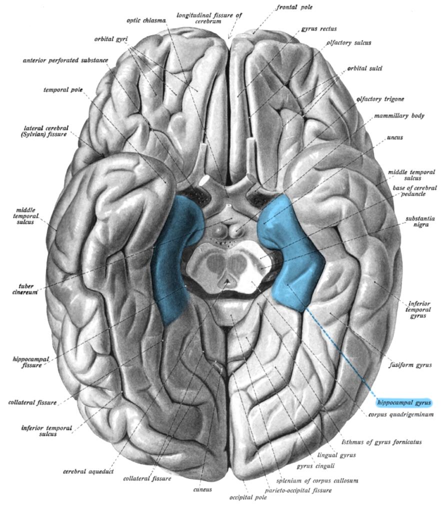Illustration anatomique du cerveau humain, face inférieure montrant en bleu le gyrus parahippocampique.