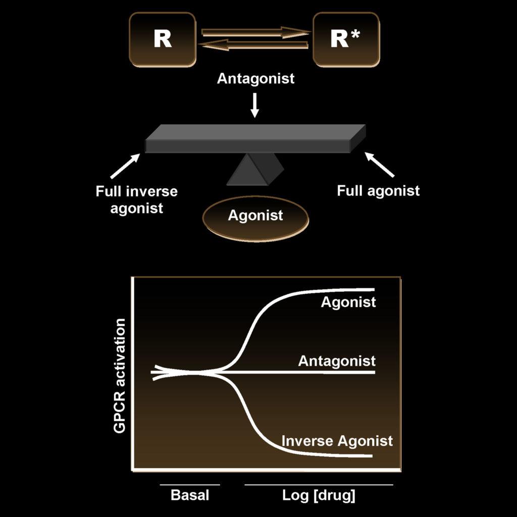 Schematische Darstellung des Zwei-Stadien-Modells der Aktivierung eines CB1-Rezeptors, in der sich die Rezeptoren im Gleichgewicht zwischen zwei Stadien – dem aktiven und dem inaktiven (R* und R) – befinden.