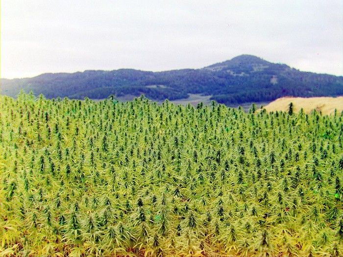 A cultivated field of cannabis in the Chuy Valley (© azh.kz)