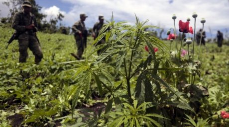 Operation Kendir is an annual police effort aimed at controlling cannabis and opium production in the Chuy Valley (© tengrinews.kz)