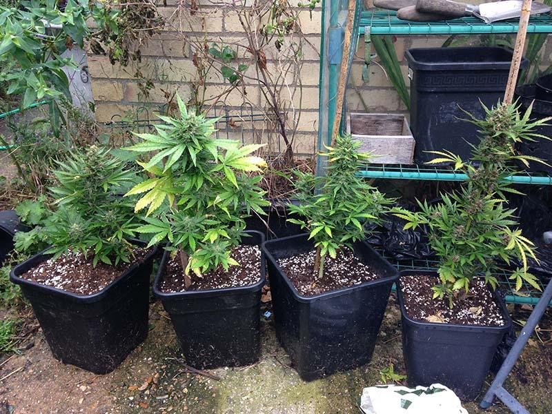 Las variedades de cannabis autofloreciente suelen alcanzar una altura de unos 40-50cm