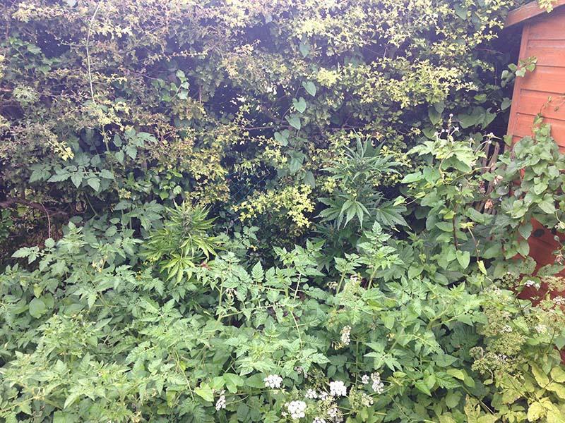 La baja altura y las escasas ramas permiten que las autoflorecientes se puedan esconder fácilmente entre otras plantas