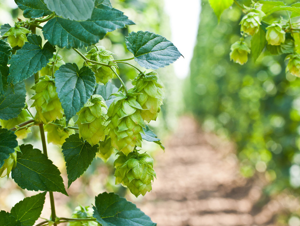 Hops are dioecious, like cannabis and most other Cannabaceae species