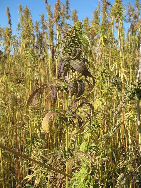 Eine Hanfpflanze im Freilichtmuseum Beuren - Sensi Seeds Blog