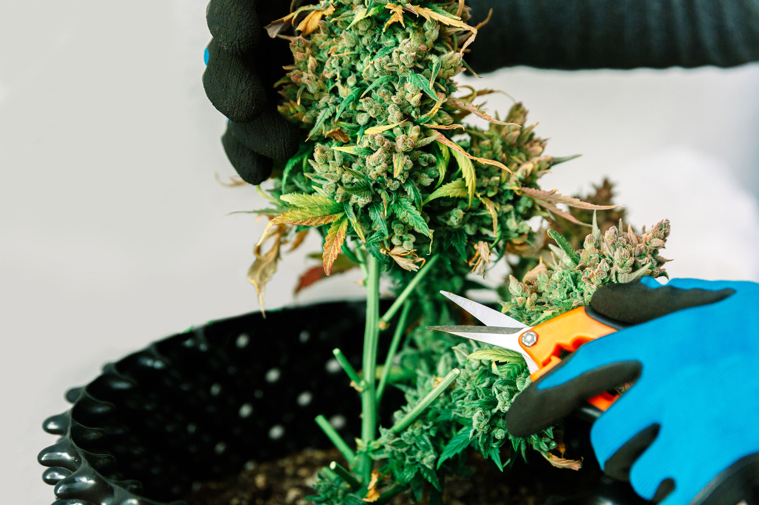 How to recover a dying weed plant