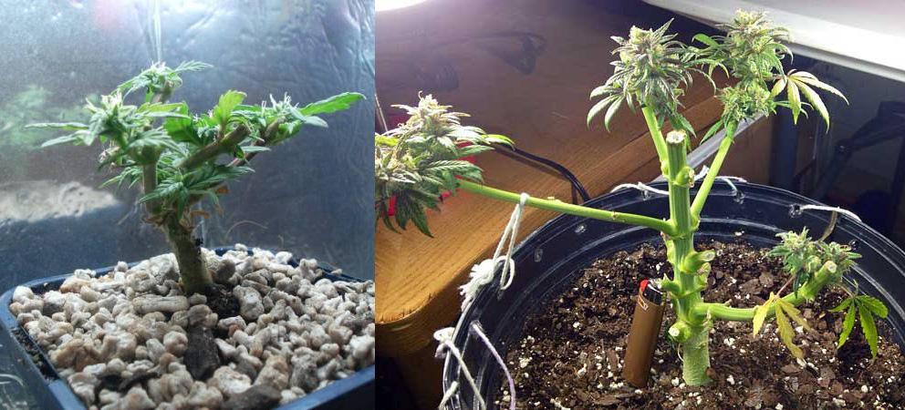 Sofort nach dem Zurückversetzen in die Wachstumsphase sollte die Pflanze eine größere Stickstoffgabe erhalten; die neuen Triebe sollten dann innerhalb von zwei Wochen zu sehen sein