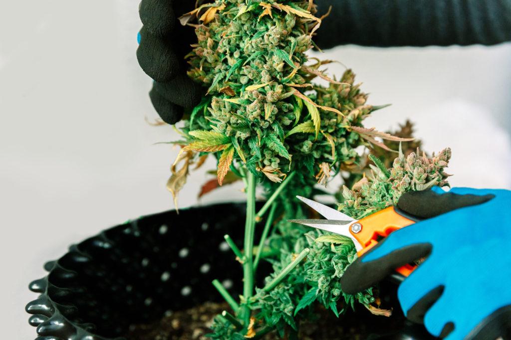 Wanneer bij een volwassen cannabisplant de meeste toppen en takken weggesnoeid worden, kan hij weer tot vegetatieve groei gebracht worden en een tweede oogst produceren