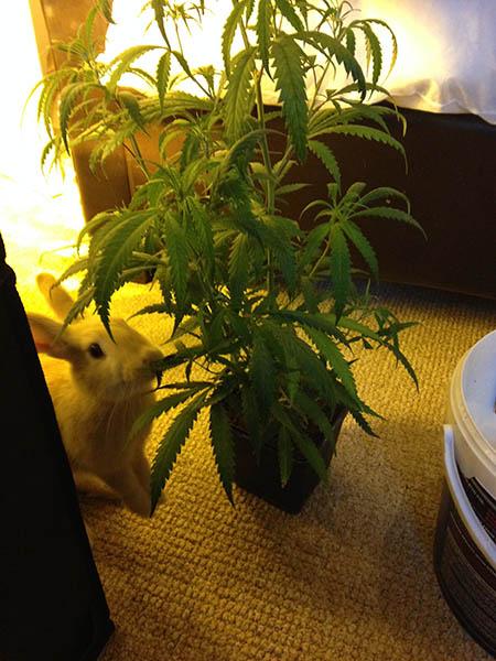 trasplantar una planta de cannabis
