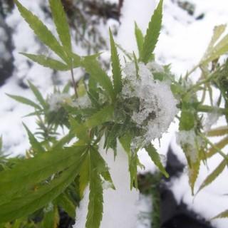 comment faire pousser du cannabis en hiver sensi seeds comment faire pousser du cannabis en. Black Bedroom Furniture Sets. Home Design Ideas