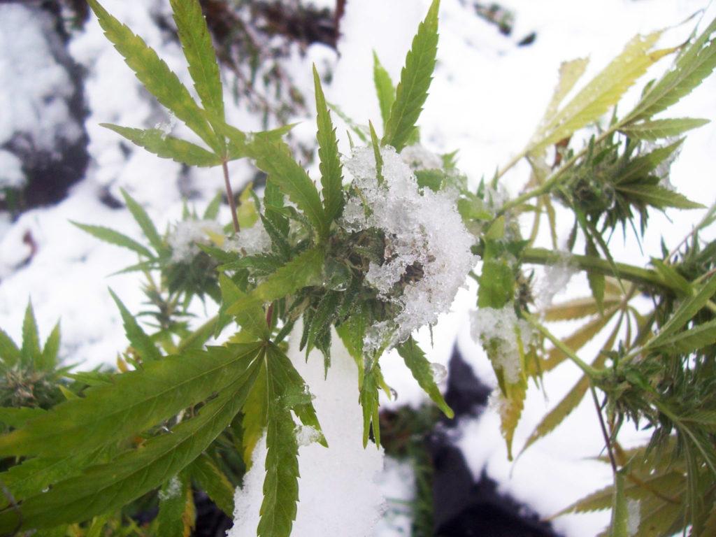 Cómo cultivar cannabis en invierno