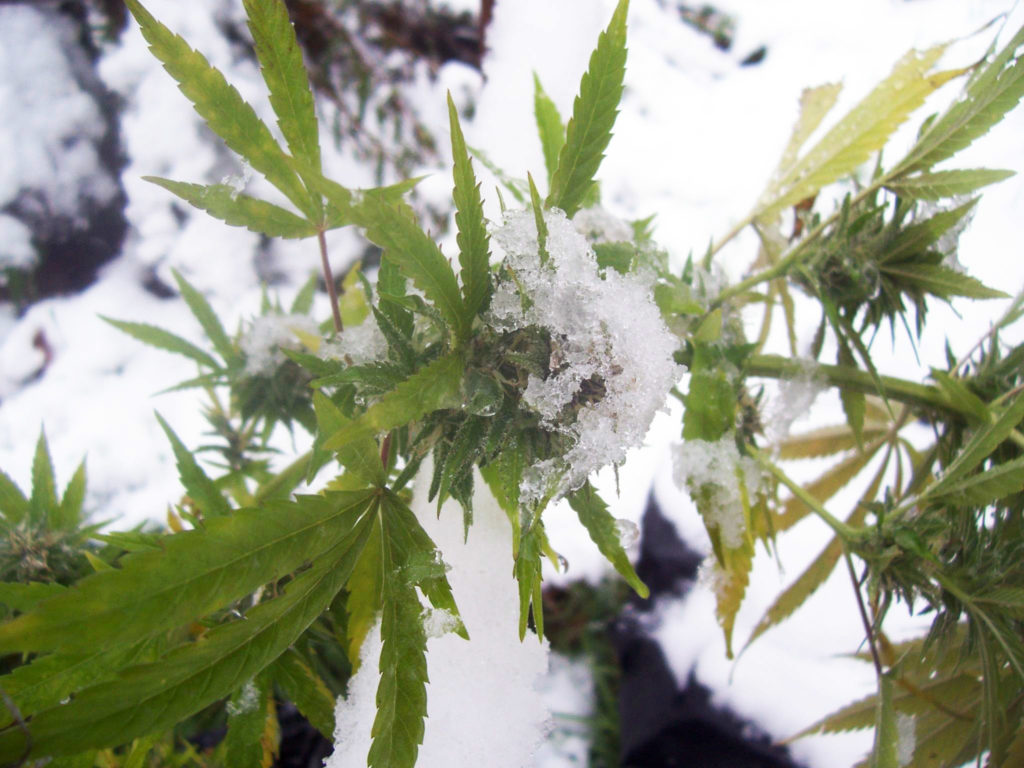 How to grow cannabis in winter