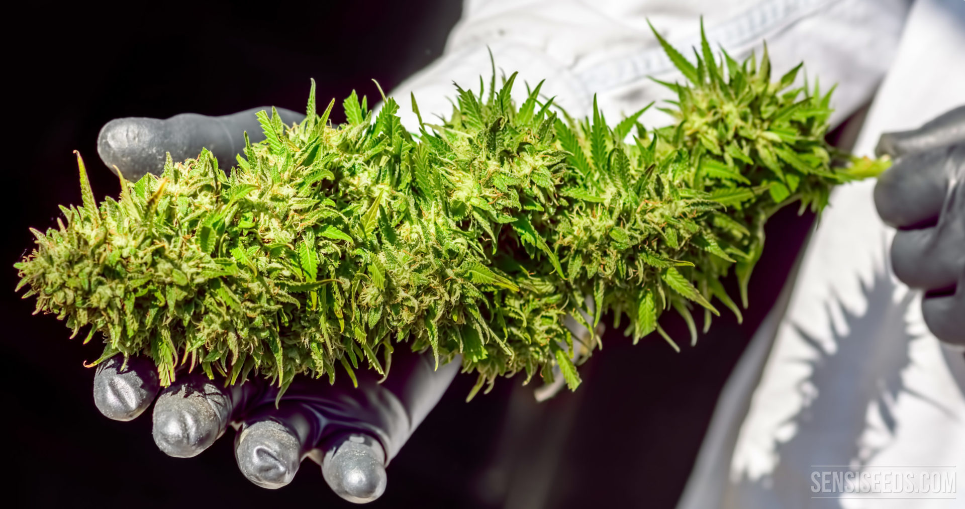 How to maximise the yield of a cannabis plant - Sensi Seeds