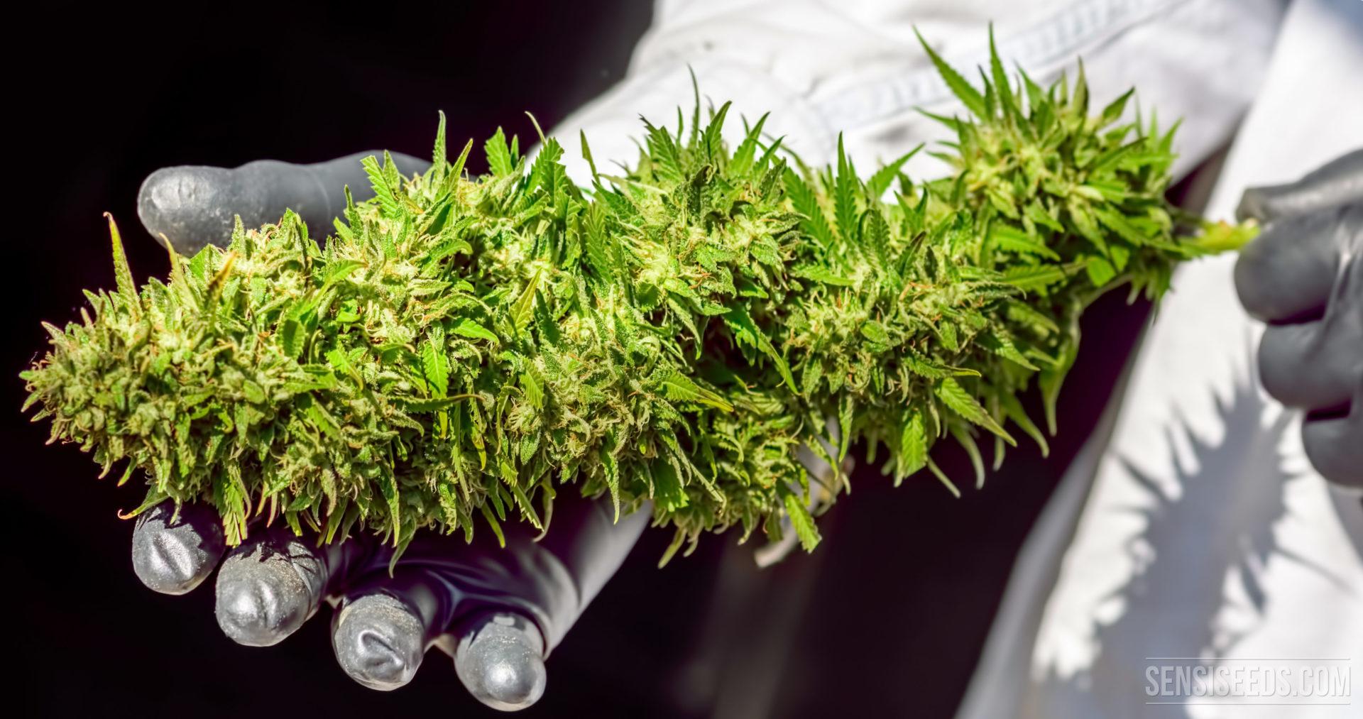 wie maximiert man den ertrag einer cannabis pflanze. Black Bedroom Furniture Sets. Home Design Ideas