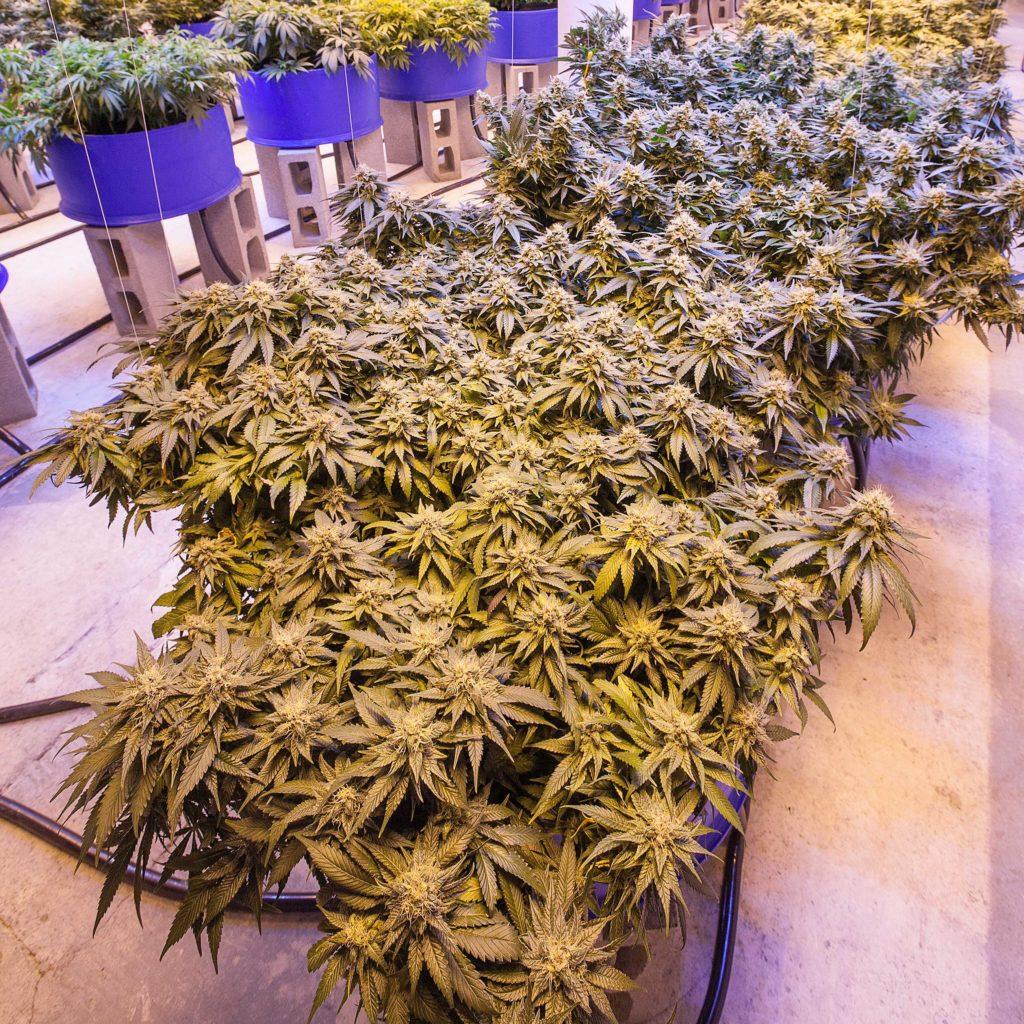 De opbrengst van een cannabisplant maximaliseren