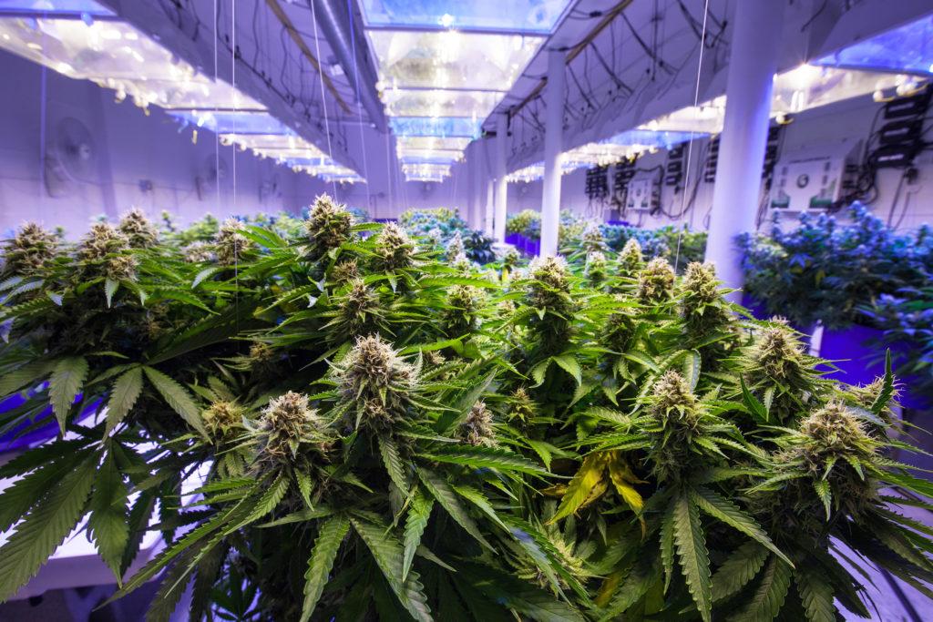 Cómo maximizar la producción de una planta de cannabis