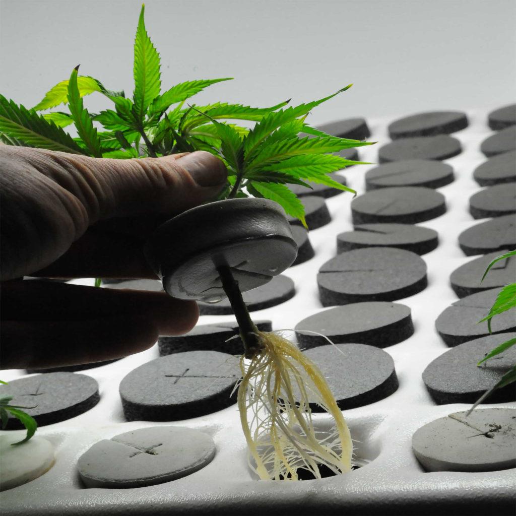 Een cannabisplant verpotten