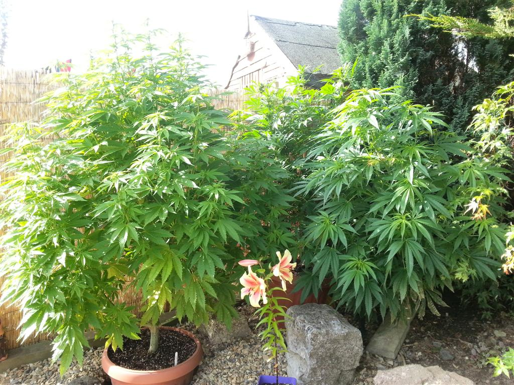 Comment arroser un plant de cannabis sensi seeds for Cannabis floraison exterieur