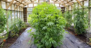 Comment optimiser le rendement d'un plant de cannabis
