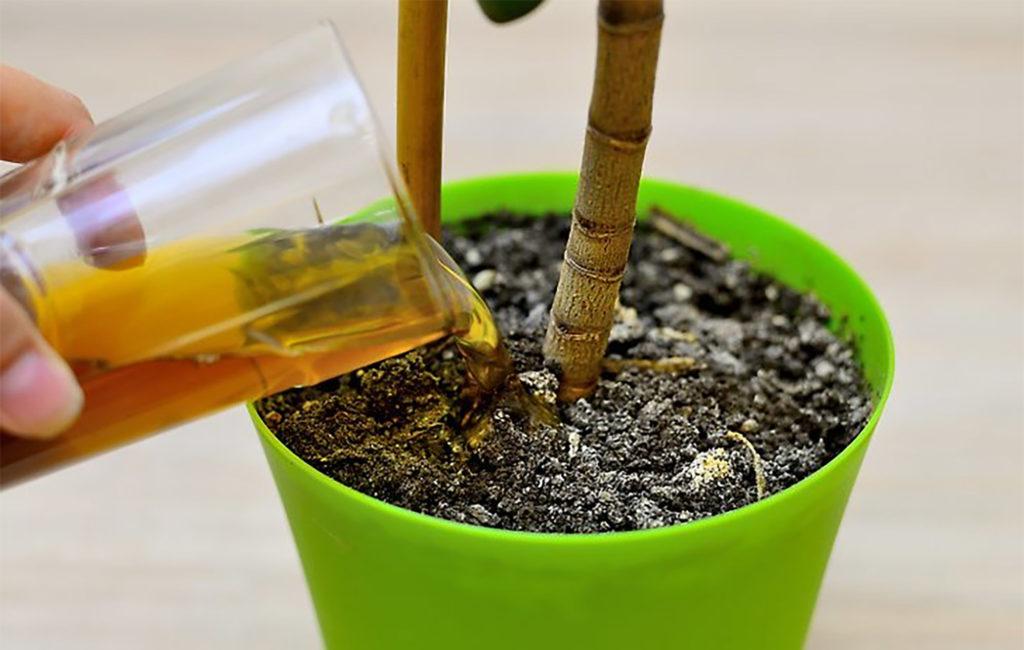 Een close-up van een hand die bruine compostvloeistof uit een glas in gepotte plantaarde giet. Een plant groeit uit de aarde.