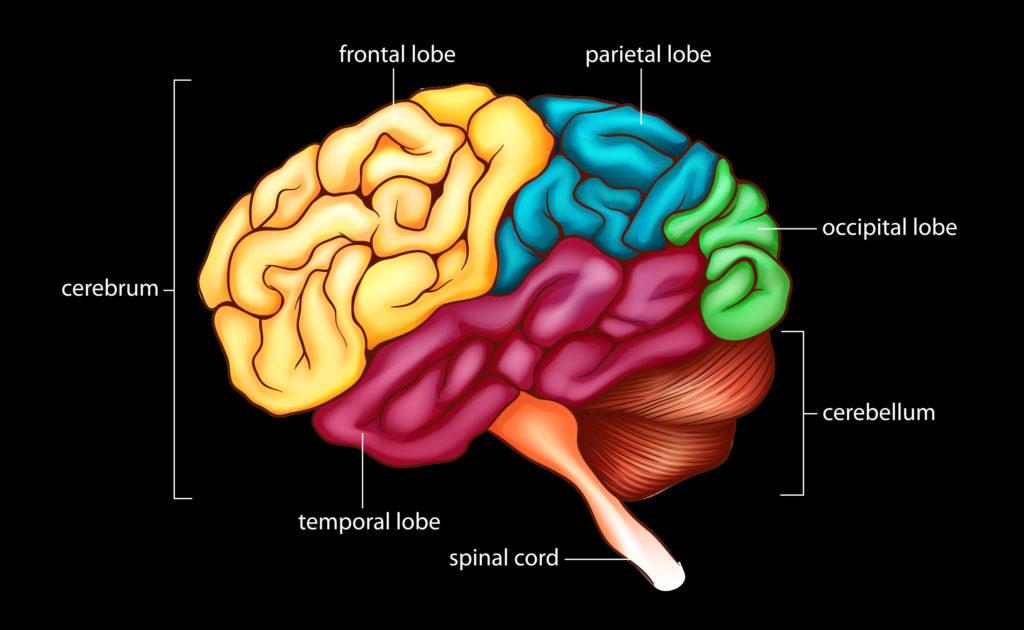 Een tekening van de hersenen waarin de verschillende gebieden met kleuren worden aangegeven. De grote hersenen, de grote kwab helemaal links, zijn geel. Met een ander opschrift wordt de frontaalkwab aangegeven. De parietaalkwab ligt rechts van de frontaalkwab en is blauwgroen. Daarnaast ligt de occipitale kwab, die groen is. Eronder ligt het cerebellum, getekend met dikke, streperige lijnen en oranjebruin van kleur. Uit de onderkant komt het ruggenmerg tevoorschijn, dat feloranje is. In het midden ligt de paarse temporale kwab.