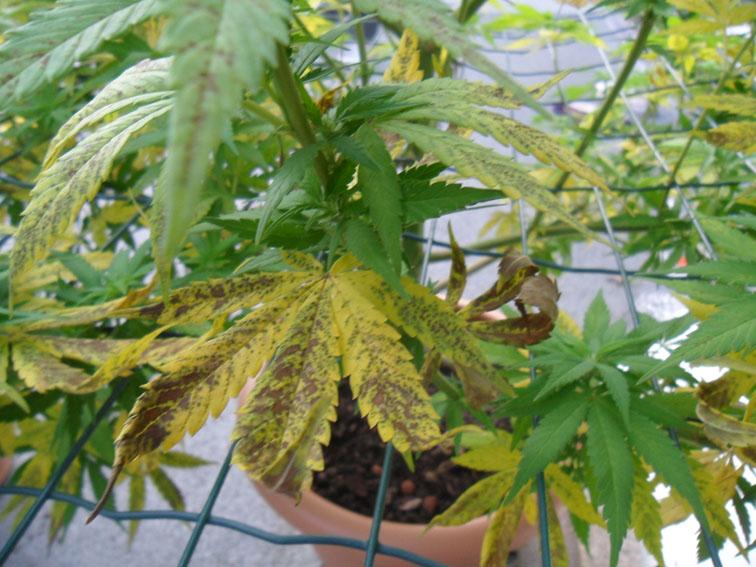 Starker Manganmangel, der an den gelben Blättern mit nekrotischen Flecken zu erkennen ist