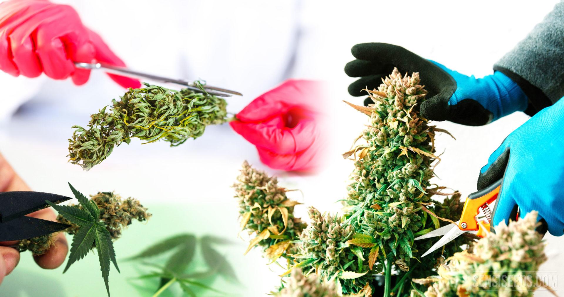 Cómo podar y hacer la manicura a los cogollos de cannabis