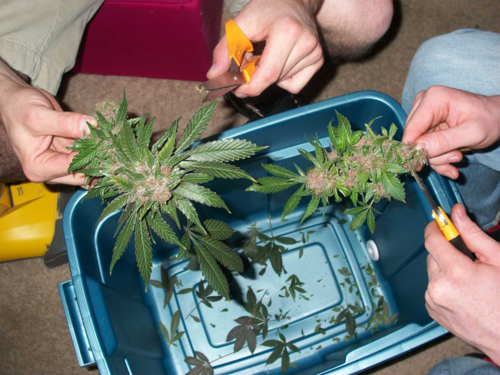 Cannabisbloemen knippen en bewerken